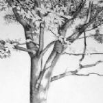 ALI MORGAN Spring - Summer - Autumn - Winter - Forty Tree Drawings Summer 08